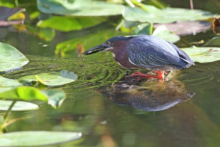 Green Heron  Butorides virescens  Catching a Small Fish -  photo