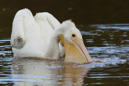 Endangered American White Pelican  Pelecanus erythrorhynchos  Filling its Pouch with Water While Feeding - 免版税图像