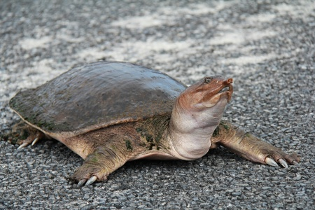 Spiny softshell turtle  Apalone spinifera  Crossing a Road -