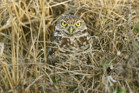 Burrowing Owl  Athene cunicularia  - Cape Coral, Florida Stock Photo - 12899035