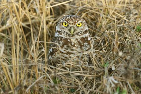 Burrowing Owl  Athene cunicularia  - Cape Coral, Florida Stock Photo - 12899035