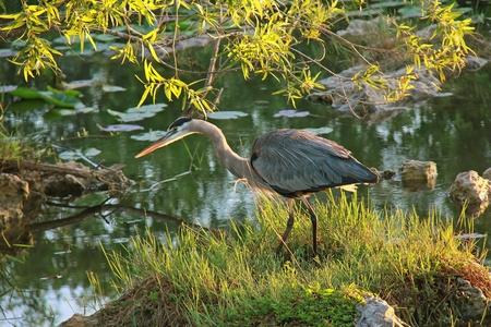 herodias: Great Blue Heron  Ardea herodias  Stalking its Prey at Dawn -