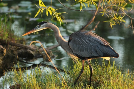 Great Blue Heron  Ardea herodias  Stalking its Prey at Dawn - photo
