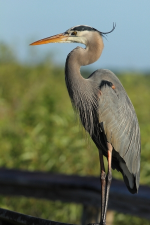 Great Blue Heron  Ardea herodias  -