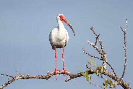 White Ibis  Eudoctricimus albus  Perched in a Tree -  Stock Photo - 12898964