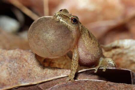 Male Spring Peeper  Pseudacris crucifer  with Vocal Sac Inflated  Calling for a Mate photo
