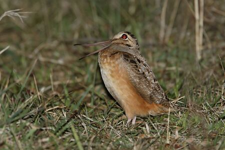 American Woodcock  Scolopax minor  Calling in Spring - Ontario, Canada