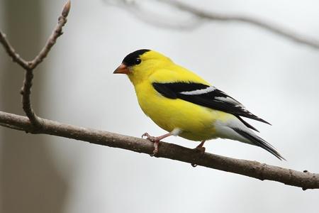 Male American Goldfinch  Spinus tristis  - Ontario, Canada