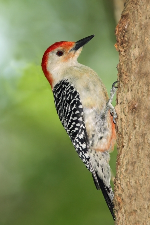 bellied: Male Red-bellied Woodpecker  Melanerpes carolinus  Clinging to a Maple Tree - Ontario, Canada