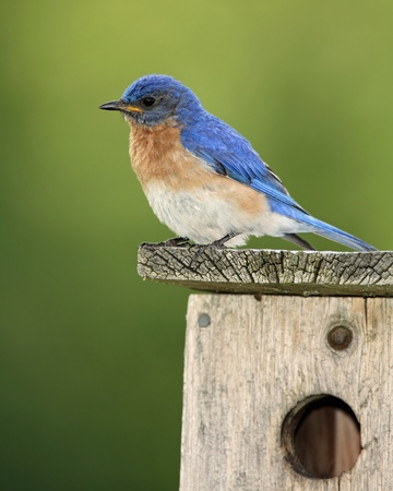 Male Eastern Bluebird  Sialia sialis  perched on a nest box - Ontario, Canada photo