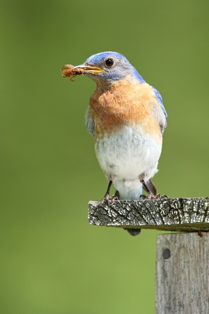 Male Eastern Bluebird  Sialia sialis  with a Beetle in its Beak - Ontario, Canada photo