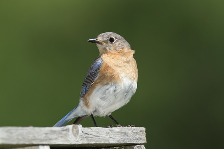 Female Eastern Bluebird  Sialia sialis  Perched on a Nest Box - Ontario, Canada photo