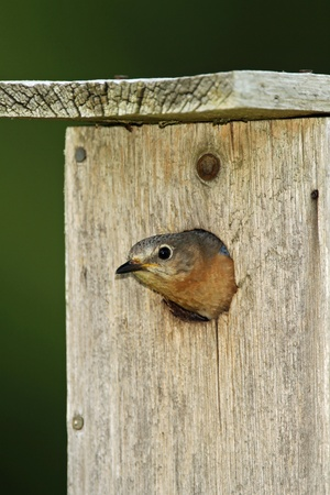 turdidae: Female Eastern Bluebird  Sialia sialis  looking out from the nest cavity - Ontario, Canada Stock Photo