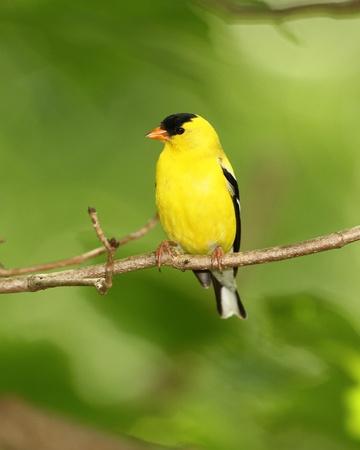 Male American Goldfinch  Carduelis tristis  - Ontario, Canada