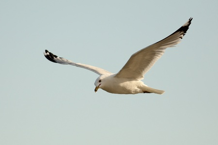 Ring-billed Gull Larus delawarensis en vuelo - Ontario, Canad� photo