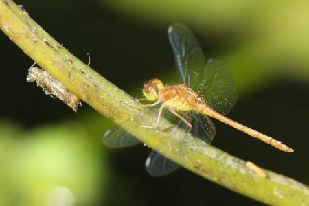 exoskeleton: Green and Brown Dragonfly Perched on a Plant Stem Next to an Exoskeleton - Ontario, Canada