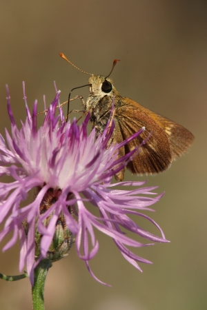 Least Skipper  Anclyoxypha numitor  Pollinating Spotted Knapweed  Centaurea maculosa  - Ontario, Canada