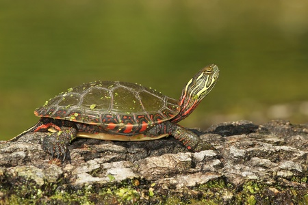 Midland Painted Turtle  Chrysemys picta marginata  Basking on a Log - Pinery Provincial Park, Ontario, Canada