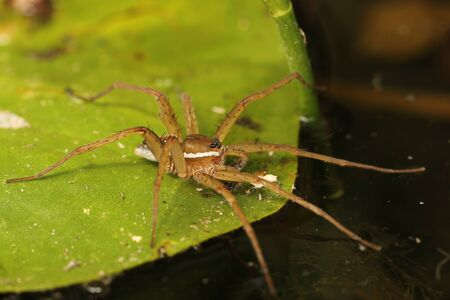 Six-spotted Fishing Spider  Dolomodes triton  Waiting to Ambush its Prey on a Lily Pad - Ontario, Canada Stok Fotoğraf