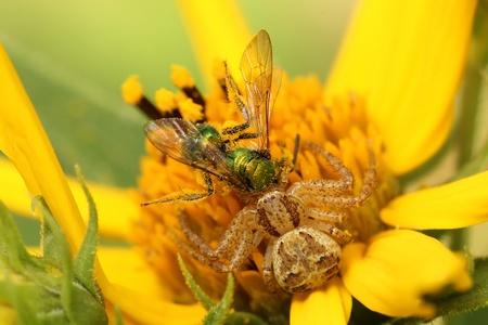 xysticus: Elegant Crab Spider  Xysticus elegans  Devouring a Bee on a Woodland Sunflower  Helianthus divaricatus  - Ontario, Canada