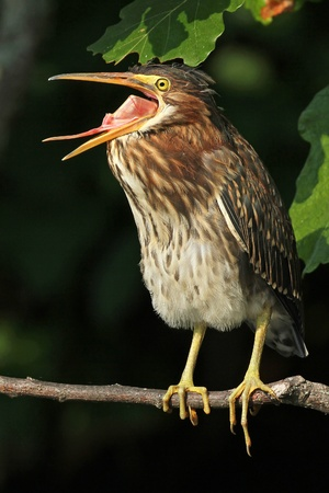 Young Green Heron  Butorides virescens  Yawning and Exposing its Esophagus - Ontario, Canada