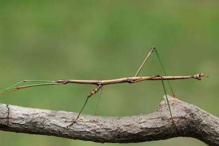 Northern Walking Stick  Diapheromera femorata  Concealed on a Tree Branch - Ontario, Canada