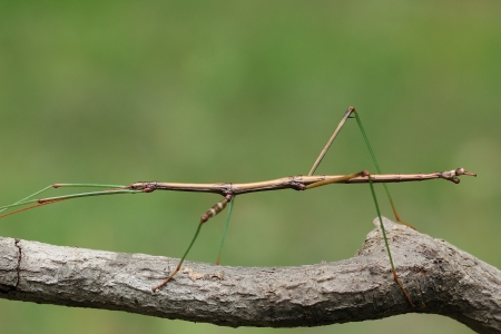 natural selection: Northern Walking Stick  Diapheromera femorata  Concealed on a Tree Branch - Ontario, Canada