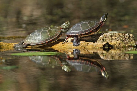 Pair of Midland Painted Turtles  Chrysemys picta marginata  Basking on a Log with their Reflection in the Water - Pinery Provincial Park, Ontario, Canada