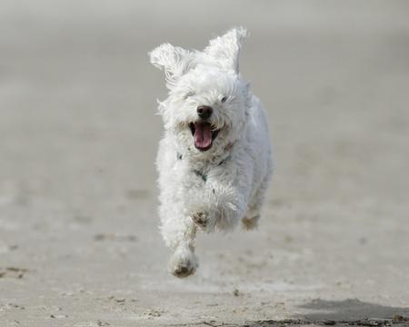 Small White Cockapoo is Airborne as it Runs For Joy on a Sandy Beach - Lake Huron, Ontario, Canada