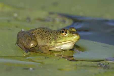 Bullfrog  Lithobates catesbeianus  Sitting on a Lily Pad - Ontario, Canada photo