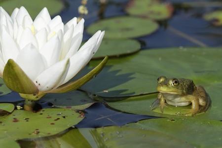 온타리오, 캐나다 - 향기로운 물 백합 꽃 수련 odorata 옆에 릴리 패드에 앉아 작은 황소 개구리 Lithobates의 catesbeianus