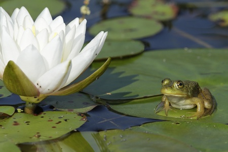 Small Bullfrog  Lithobates catesbeianus  Sitting on a Lily Pad next to a Fragrant Water Lily Flower  Nymphaea odorata  - Ontario, Canada