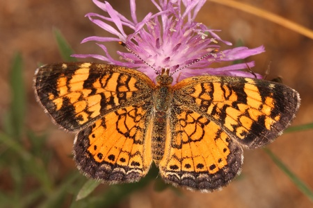 mutualism: Pearly Crescentspot  Phyciodes tharos  Butterfly Obtaining Nectar From a Rough Blazing Star  Liatris aspera  - Pinery Provincial Park, Ontario, Canada