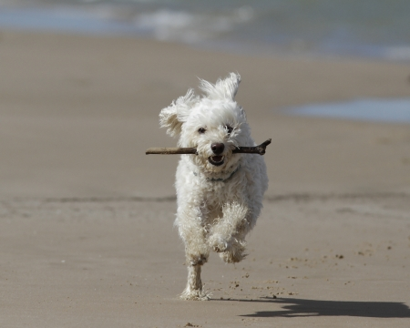 dog running: Small White Cockapoo Dog Running on the Beach with a Stick in its Mouth - Lake Huron, Ontario
