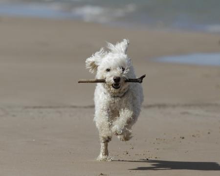 perro corriendo: Small White Cockapoo Perro corriendo en la playa con un palillo en la boca - Lago Huron, Ontario