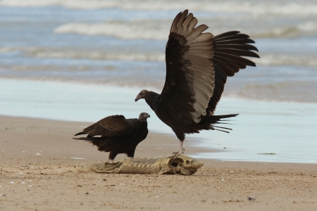 Immature Turkey Vultures  Cathartes aura  Arguing Over a Dead Lake Sturgeon  Acipenser fulvescens  Washed up on the Beach - Lake Huron, Ontario