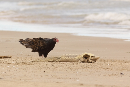 the aura: Turkey Vulture  Cathartes aura  Examining a Dead Lake Sturgeon  Acipenser fulvescens  Washed up on the Beach - Lake Huron, Ontario Stock Photo