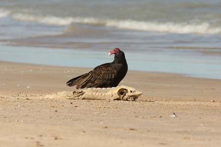 Adult Turkey Vulture  Cathartes aura  With a Dead Lake Sturgeon  Acipenser fulvescens  Washed up on the Beach - Lake Huron, Ontario