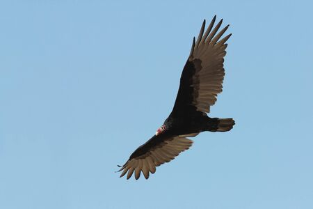 the aura: Turkey Vulture  Cathartes aura   Soaring Against a Clear Blue Sky - Ontario, Canada Stock Photo