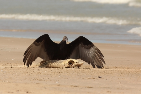 the aura: Immature Turkey Vulture  Cathartes aura  with Wings Spread Standing on a Dead Lake Sturgeon  Acipenser fulvescens  Washed up on the Beach - Lake Huron, Ontario