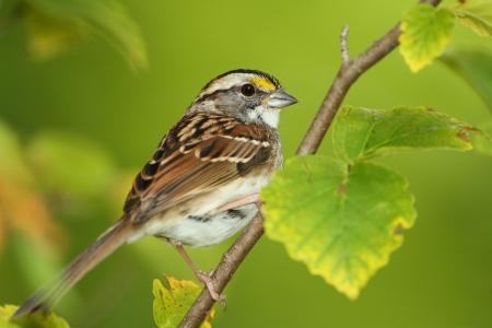White-throated Sparrow  Zonotrichia albicollis  Perched in a Witch Hazel Shrub - Ontario, Canada 免版税图像