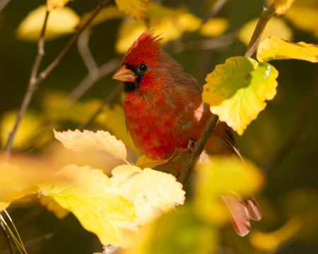 cardinal: Northern Cardinal  Cardinalis cardinalis  perched in a Witch Hazel Shrub in Autumn - Ontario, Canada