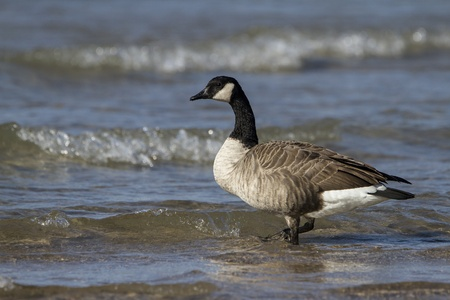 Canada Geese  Branta canadensis  wading in shallow water at the beach - Lake, Huron, Ontario, Canada photo