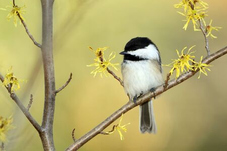 Black-capped Chickadee  Poecile atricapilla  perched in a flowering Witch Hazel shrub in autumn - Ontario, Canada 免版税图像