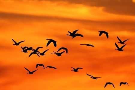 Flock of Canada Geese silhouetted against a sunset as they fly south during autumn migration   photo
