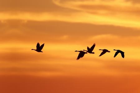 Canada Goose Branta canadensis Resto líder de Flock sobre Migración del Sur contra una puesta del sol - Grand Bend, Ontario, Canadá