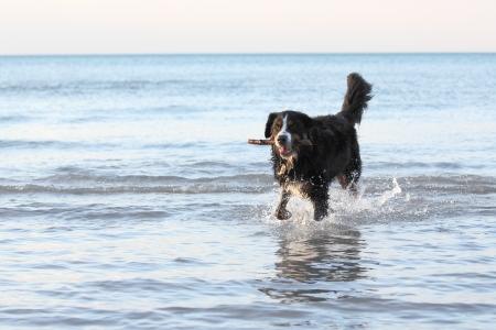 Burmese Mountain Dog Retrieving a Stick from a Lake Huron Beach - Grand Bend, Ontario, Canada