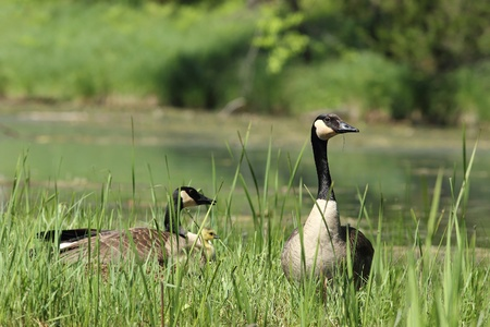 pinery: Canada Geese  Branta Canadensis  Parents and Gosling hiding in tall vegeation - Pinery Provincial Park, Ontario, Canada Stock Photo