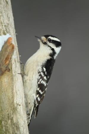 downy woodpecker: Female Downy Woodpecker   Picoides pubescens   on a dead pine tree - Ontario, Canada