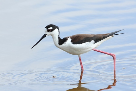 wading: Black-necked Stilt  Himantopus mexicanus  Wading in a Shallow Pond